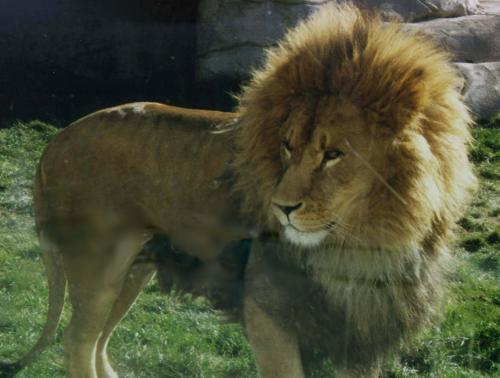 [Picture of a lion]