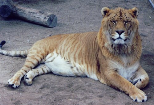 [A full view of Hobbs the liger]
